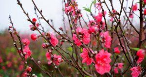 Vườn đào Nhật Tân và nhà thơ Phạm Hổ