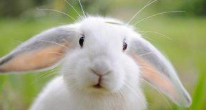 Ở nhà tôi xuất hiện một con thỏ trắng