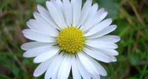 Một bông hoa cúc