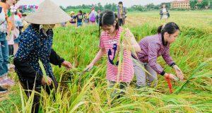 Câu hát trao duyên bên cánh đồng lúa chín – Bắc Ninh 2020